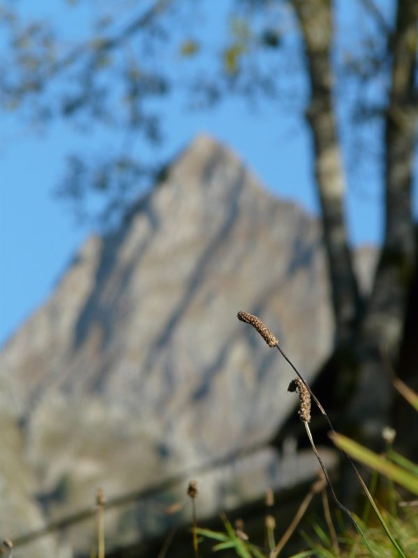 Piantaggine (Plantago lanceolata)