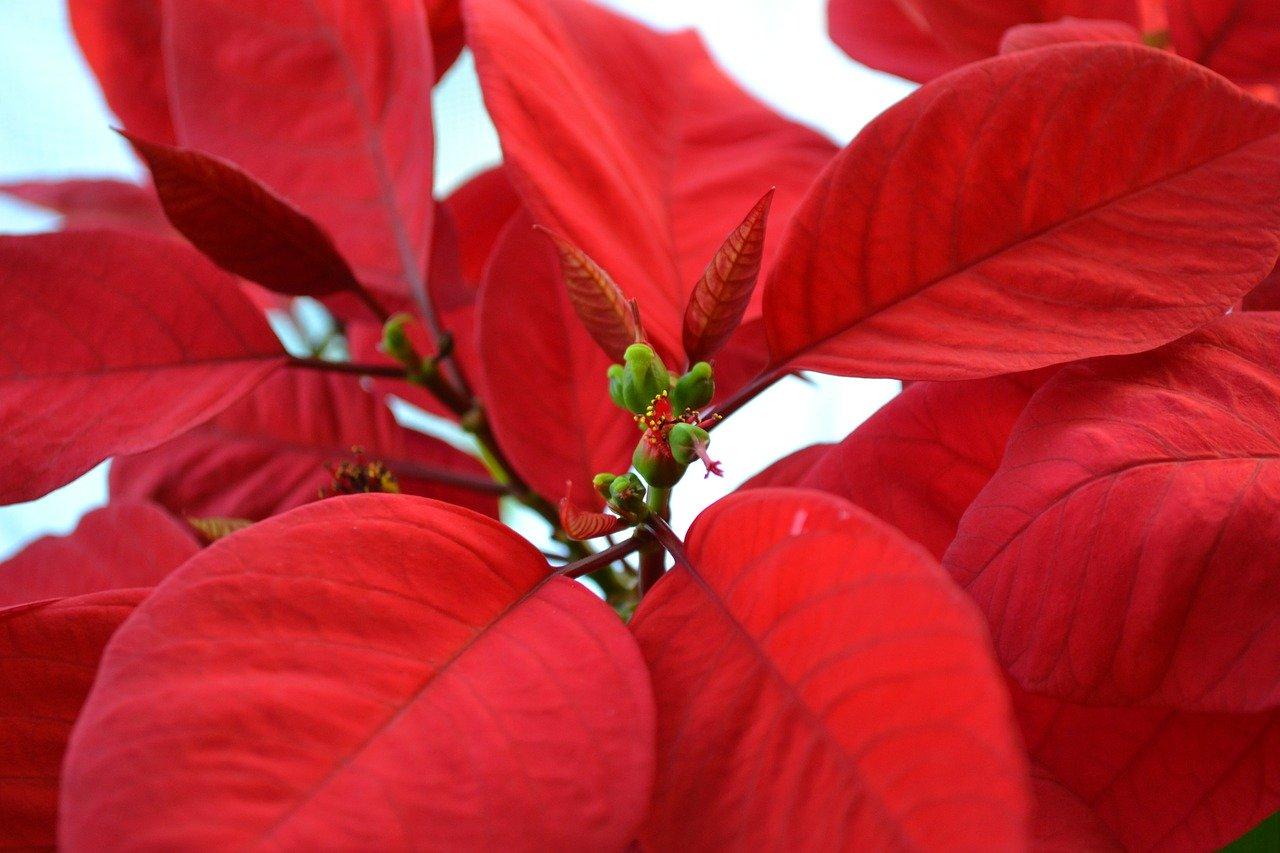 Piante Da Appartamento Ambiente Buio stella di natale: consigli, coltivazione e cura