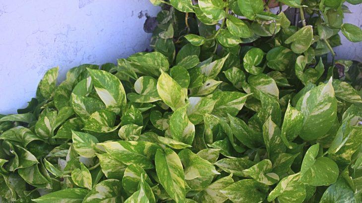 Pothos - Epipremnum aureum