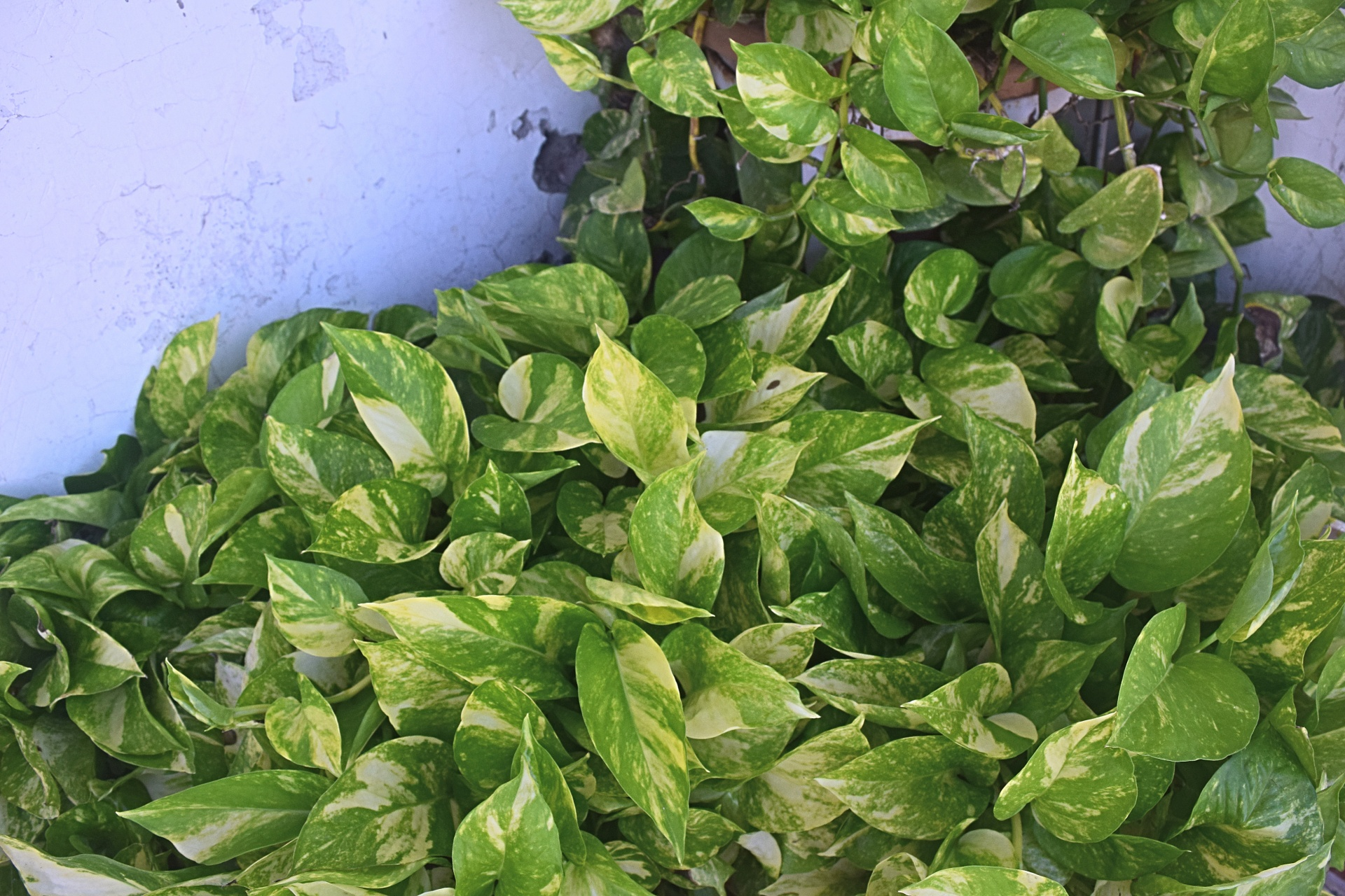 Piante Rampicanti Da Esterno potos o pothos (epipremnum): consigli, coltivazione e cura