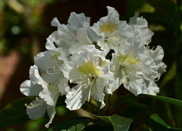 Rododendro rhododendron consigli coltivazione e cura for Rododendro pianta
