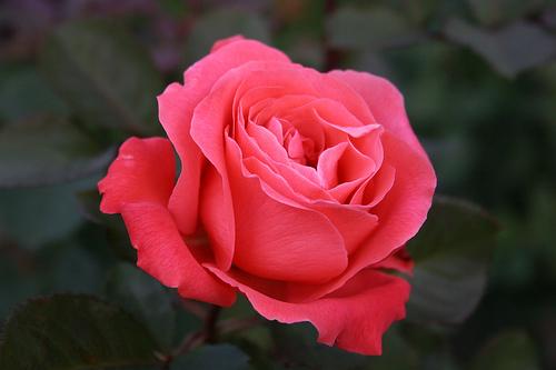 Fiori e piante dalla a alla z oleandro pervinca petunia for Fiori dalla a alla z