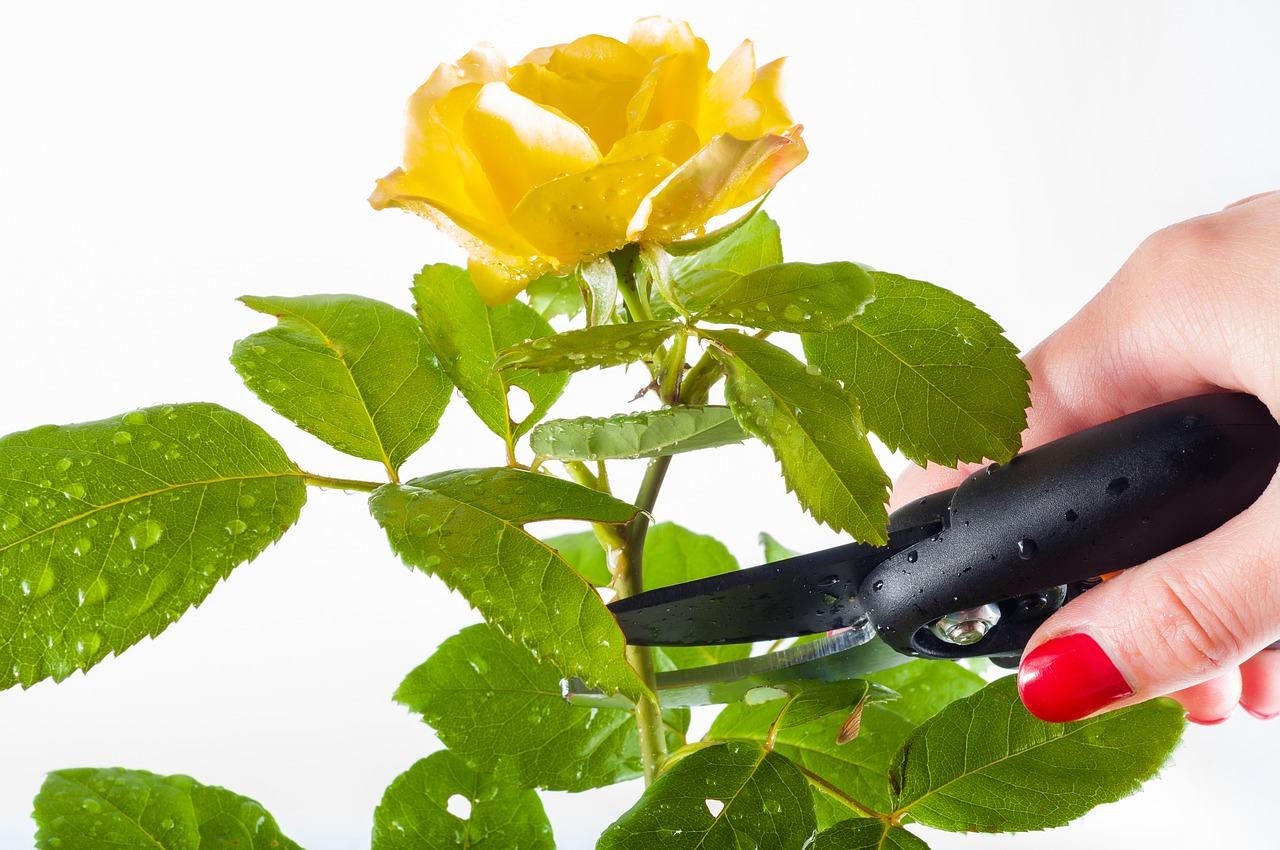 Rose Da Taglio Rifiorenti come potare le rose? qual è il periodo giusto per potare un