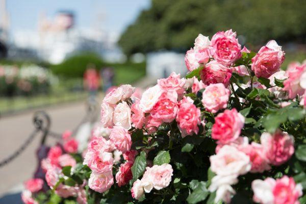 rose-garden-1180317_960_720