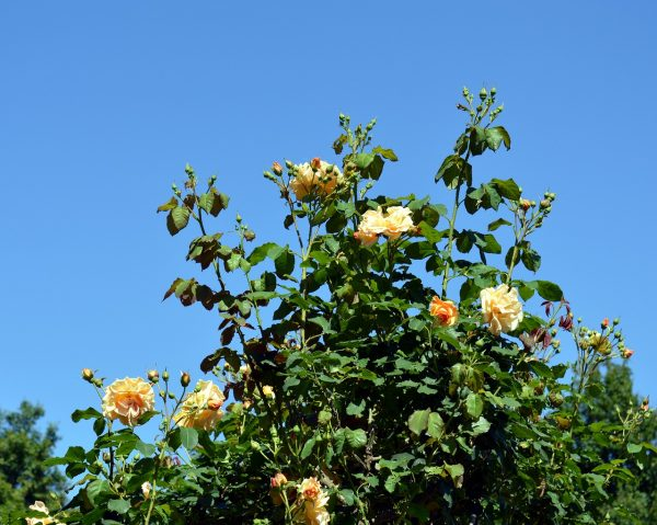 Rose a cespuglio
