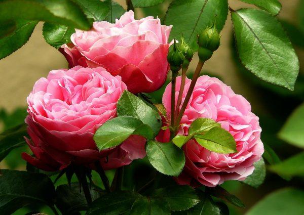 Cosa fiorisce a Maggio? la Rosa