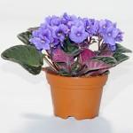 Saintpaulia Ionantha (Violetta Africana)