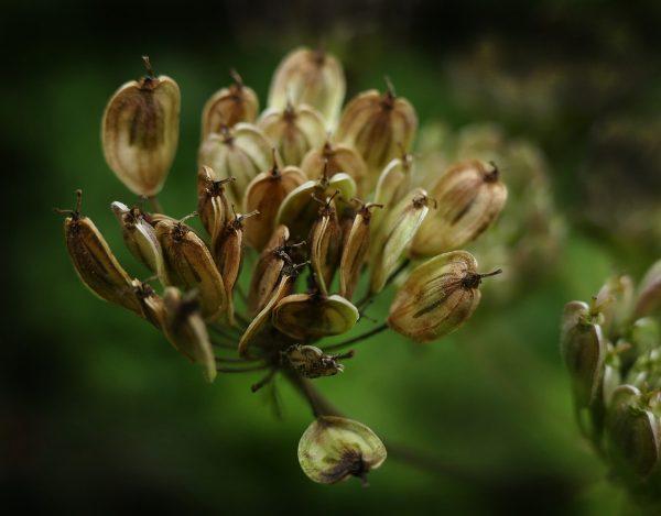 semi anice verde