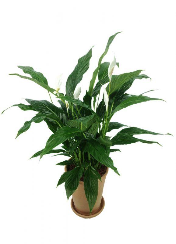 pianta di Spathiphyllum