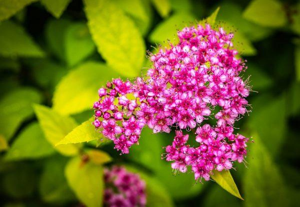 spirea japonica