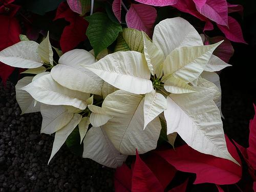 Come Si Chiama La Stella Di Natale.Stella Di Natale Consigli Coltivazione E Cura