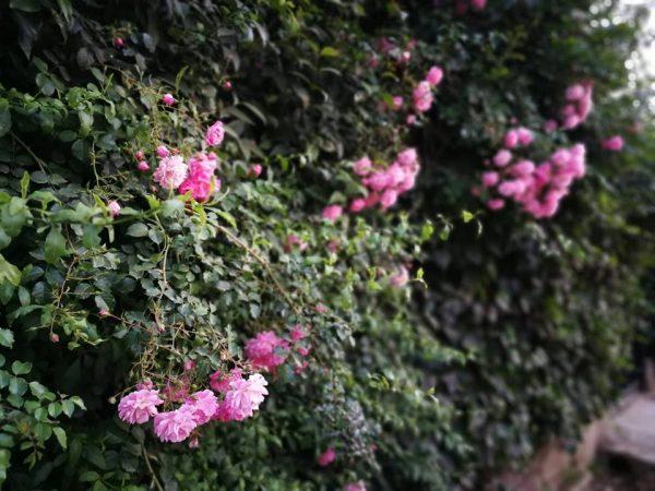 rosa ancora senza nome probabilmente un ibrido derivante da 'Dorothy Perkins' Foto di Tiziana Sanna