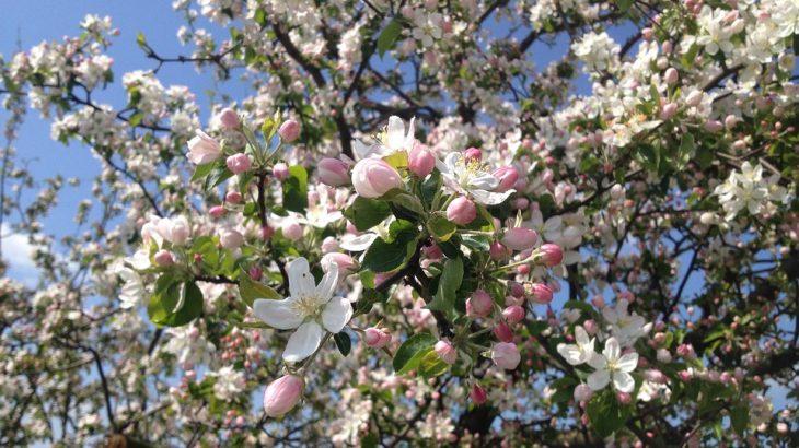 come coltivare il melo ornamentale da fiore