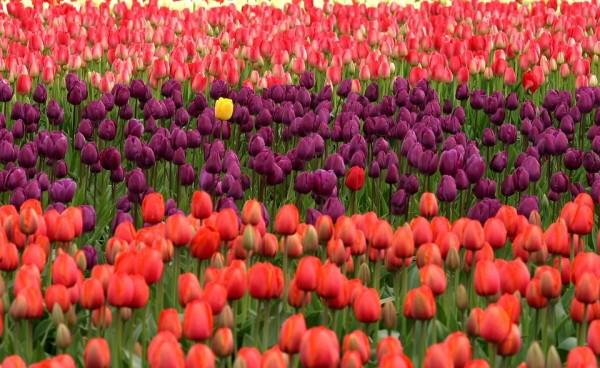 tulips-175605_960_720