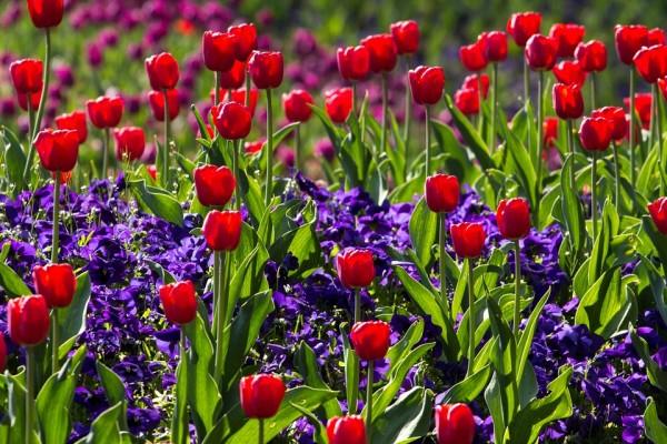 tulips-757144_960_720