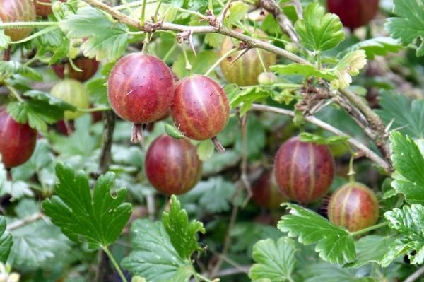 uva spina rossa