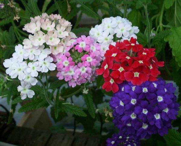 Verbena consigli coltivazione e cura for Petunie perenni