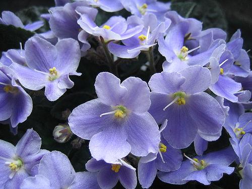 Violetta africana consigli coltivazione e cura for Violetta africana