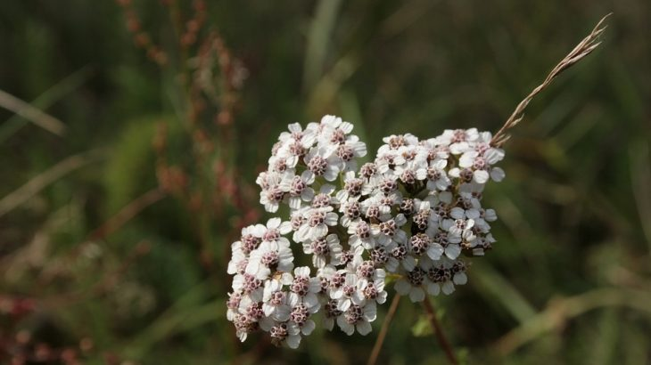 Achillea (Achillea millefolium)