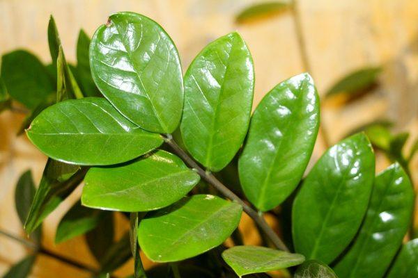 Pianta Da Appartamento Zamiifolia.Zamioculcas Zamioculcas Zamiifolia Consigli Coltivazione E Cura