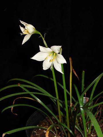 Zephyranthes albiella